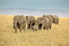 Safari with Africans elephants in Kenya Stock Photography