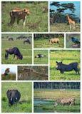 safari afrykańskiej Obrazy Royalty Free