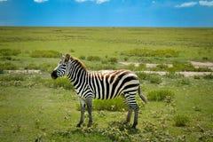 Safari agradable de la aventura de la cebra Foto de archivo libre de regalías