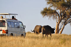 Safari Buffalo's Stock Photo