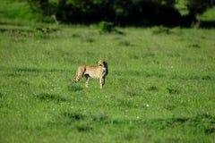 Safari. Cheetah in the savanna of africa on the prowl Royalty Free Stock Photos