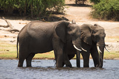 safari Chobe Royalty-vrije Stock Fotografie