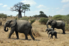 Safari com elefantes e baobab Fotos de Stock Royalty Free
