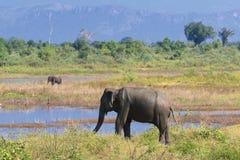 Safari con gli elefanti nel parco nazionale di Udawalawe, Sri Lanka Immagini Stock Libere da Diritti
