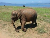 Safari d'éléphant Photo libre de droits