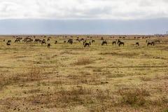 Safari da cratera de Ngorongoro Fotografia de Stock