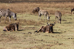 Safari da cratera de Ngorongoro Imagens de Stock