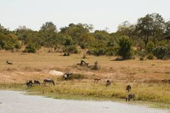 Safari Dam - Zebra, Water Buck Royalty Free Stock Photo