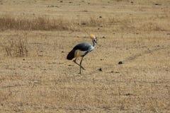 Safari de cratère de Ngorongoro Image stock
