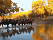 Safari de los camellos Fotos de archivo libres de regalías