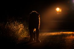 Safari de nuit avec la lumière Lion marchant sur la route avec la voiture en parc national de Kruger, Afrique Comportement animal images stock