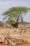 Safari de parc d'inNgutuni d'éléphants Bel horizontal africain Arbre solitaire au Kenya Parc national de Ngutuni photo libre de droits
