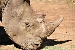 Safari de rhinocéros Images stock
