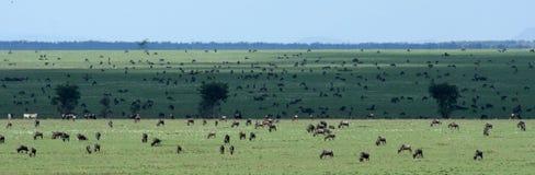 Safari de Wilderbeast - de Serengeti, Tanzania, África imágenes de archivo libres de regalías