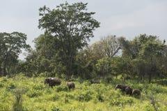 Safari degli elefanti in Polonnaruwa, Sri Lanka Immagini Stock Libere da Diritti