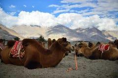 Safari del camello Foto de archivo
