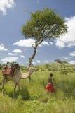 Safari del camello con el camello principal del guerrero del Masai más allá del árbol del acacia y a través de los prados verdes  Fotos de archivo libres de regalías