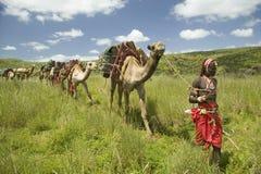 Safari del camello con los guerreros del Masai que llevan camellos a través de los prados verdes de la conservación de la fauna d Fotos de archivo libres de regalías