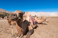 Safari del cammello Immagini Stock