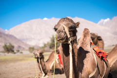 Safari del cammello Fotografia Stock