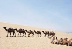 Safari del cammello nei deserti Fotografia Stock