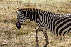Safari del cratere di Ngorongoro Fotografia Stock Libera da Diritti