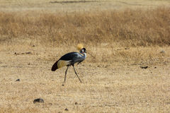 Safari del cratere di Ngorongoro Immagine Stock