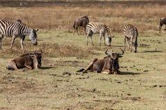 Safari del cratere di Ngorongoro Immagini Stock
