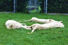 Safari del parque de Parc, Hemmingford, Montreal imagen de archivo libre de regalías