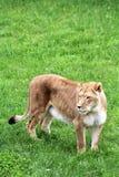 Safari del parque de Parc, Hemmingford, Quebec, Canadá foto de archivo