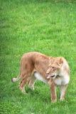 Safari del parque de Parc, Hemmingford, Quebec, Canadá fotos de archivo libres de regalías