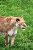 Safari del parque de Parc, Hemmingford, Quebec, Canadá fotografía de archivo libre de regalías