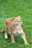 Safari del parque de Parc, Hemmingford, Quebec, Canadá imagenes de archivo