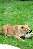 Safari del parque de Parc, Hemmingford, Quebec, Canadá imagen de archivo libre de regalías