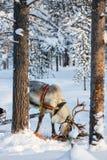 Safari del reno imagen de archivo libre de regalías