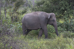 Safari dell'elefante in Polonnaruwa, Sri Lanka Fotografie Stock Libere da Diritti