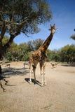 Safari della giraffa Fotografia Stock