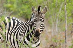 Safari della zebra Fotografia Stock