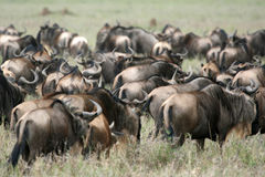 Safari di Serengeti - di Wilderbeast, Tanzania, Africa Fotografia Stock
