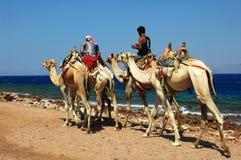 Safari do camelo Fotografia de Stock