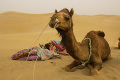 Safari do camelo Fotos de Stock Royalty Free