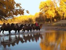 Safari dos camelos Fotos de Stock Royalty Free