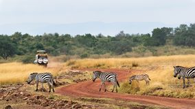 Safari Drive With Zebra i Afrika Arkivbild