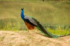 Safari em Jalla peacock fotografia de stock royalty free
