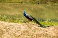 Safari em Jalla peacock fotografia de stock