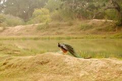 Safari em Jalla peacock imagens de stock