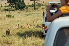 Safari en Masai Mara, Kenia Coche y cachorros de leones turísticos Imágenes de archivo libres de regalías