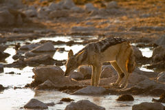 Safari Etosha. Black backed jackal drinking, safari Etosha, Namibia Royalty Free Stock Image