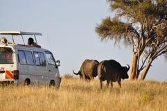 safari för buffel s Arkivfoto