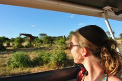 Safari giraffe. Sight Seeing, Safari trip in africa, you get really close to the wildlife, giraffe Stock Photography